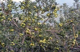 wisata petik buah apel malang batu